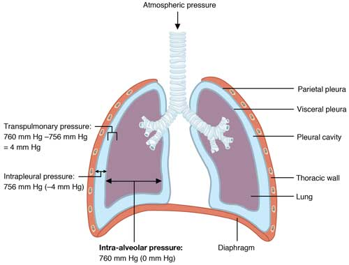 Intrapulmonary and Intrapleural Pressure Relationships